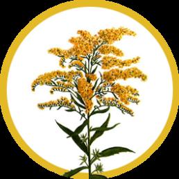 Трава золотарника
